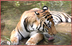 Tiger Kanha National Park,Adventure India travel tour