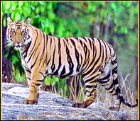Tiger in Bandhavgarh jungle